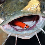 Oar-Gee Lures - tiger Lures